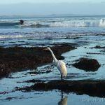 Egret, Pleasure Point California