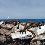 Seals, Monterey Harbor California
