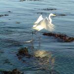 Egret, Capitola California