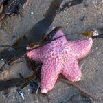 Starfish, Santa Cruz Starfish, Santa Cruz