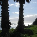 Palm Trees at Pleasure Point