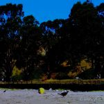 Colorized Rendering; Trees at Beach, Aptos, California