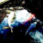 Colorized Rendering: Koi Pond